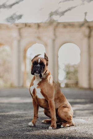 one one german tiger boxer dog standing on green grass at autumn background
