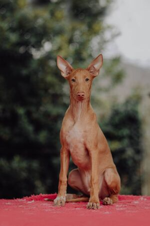 Red dog standing on a roadway vertical Imagens