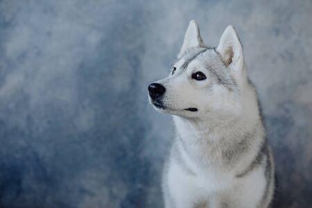 Portrait of Siberian Husky inn blue background Imagens