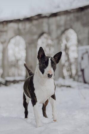 white english bull terrier dog winter portrait