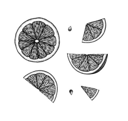 Botanical black and white  illustration. Lemon slice vintage retro design template. Hand drawn ink engraved citrus fruit slices