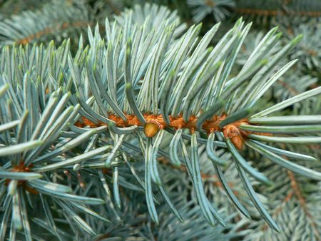 picea: needles of the blue picea