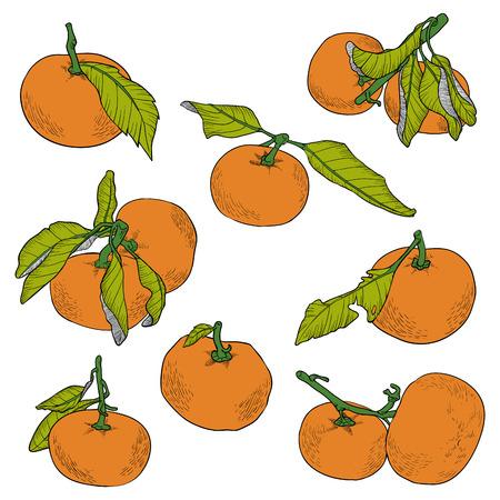 mandarin orange: Vector color set of orange fruits, mandarin and tangerin