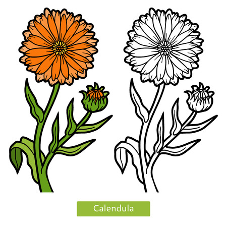 Coloring book for children, flower Calendula