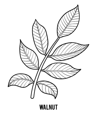 Coloring book for children, Walnut