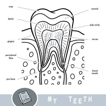 Cartoon visual dictionary for children about teeth. Educational poster about parts of tooth Ilustração