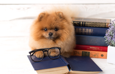 pom: Clever pomeranian dog with a book. Serious dog with glasses. Dog in a library