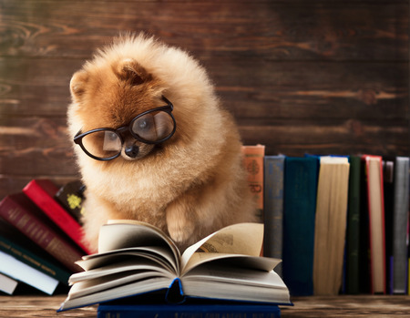 Clever pomeranian dog with a book. Serious dog with glasses. Dog in a library