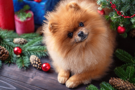 Pomeranian dog in christmas decorations on dark wooden background. The year of the dog. New year dog. Beautiful dog Archivio Fotografico