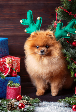 Pomeranian dog in christmas decorations on dark wooden background. The year of the dog. New year dog. Beautiful dog Stock Photo