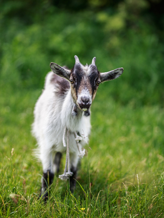 A young goat grazes in a meadow. Portrait of a funny goat. The goat is looking at the camera.