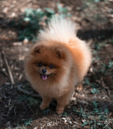 Most Inspiring Pomeranian Brown Adorable Dog - 92360406-beautiful-and-fluffy-pomeranian-dog-in-a-spring-forest-flowers-adorable-dog-dog-in-a-forest-  Perfect Image Reference_421171  .jpg?ver\u003d6