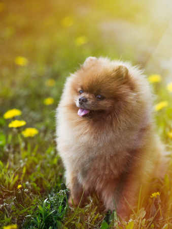 Cool Pomeranian Brown Adorable Dog - 92360410-beautiful-and-fluffy-pomeranian-dog-in-a-spring-forest-flowers-adorable-dog-dog-in-a-forest-  Graphic_53179  .jpg?ver\u003d6