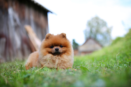 Pomeranian dog on a walk. Dog outdoor. Beautiful dog. Dog out of town Stock Photo
