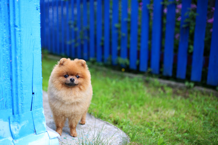 Pomeranian dog on a walk. Dog outdoor. Beautiful dog. Dog out of town 写真素材