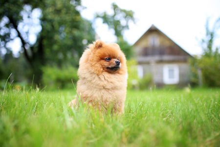 pomeranian dog in the garden dog outdoor beautiful animal photo voltagebd Image collections