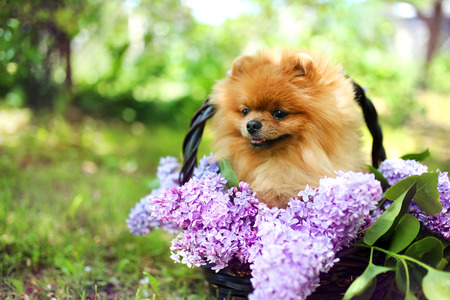 Pomeranian dog in the wooden basket with lilac bushes. Beautiful dog. Cute spitz