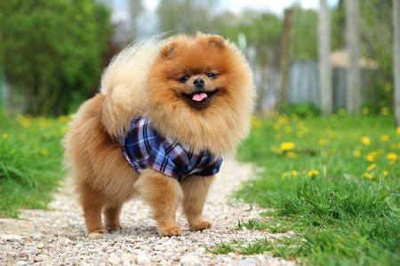 Pomeranian dog on countryside road. Beautiful dog Stock Photo