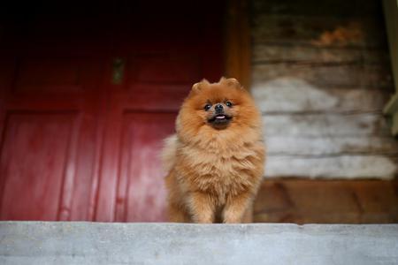 Cool Pomeranian Brown Adorable Dog - 92790038-beautiful-pomeranian-dog-serious-dog-near-door-cute-dog  Graphic_53179  .jpg?ver\u003d6