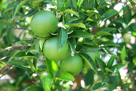 Green fruits and leafs of the orange tree