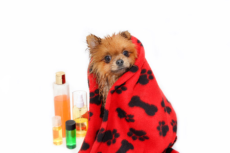 Dog wrapped in a towel. Well groomed dog. A pomeranian dog taking a shower. Dog on white background. Dog in bath. Dog grooming