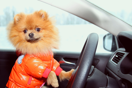Pomeranian dog in car. Cute dog in car.