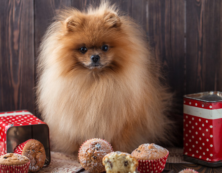 Funny pomeranian dog with treats on a wooden table. Fluffy dog. Pomeranian dog with muffins Stock Photo