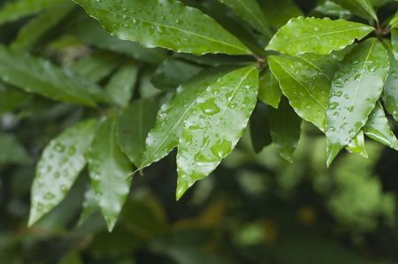 Laurel under rain