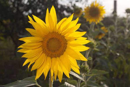 Flower of sunflower in the garden photo