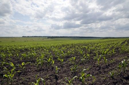 The mais field  photo
