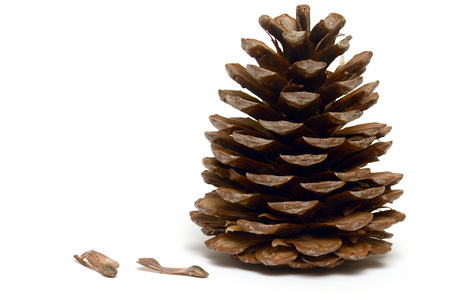 The pine cone with seeds Stock Photo