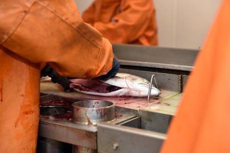 corcovado: temporada de pesca salnmon, planta de procesamiento de la pesca Foto de archivo