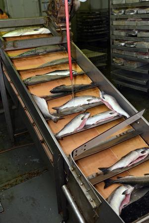 corcovado: l�nea de producci�n en la planta de procesamiento de la pesca