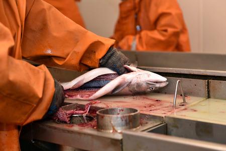jorobado: salnmon fishing season, fishing processing plant Foto de archivo