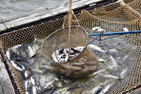 salmon fishing: Salmon fishing season in Arctic