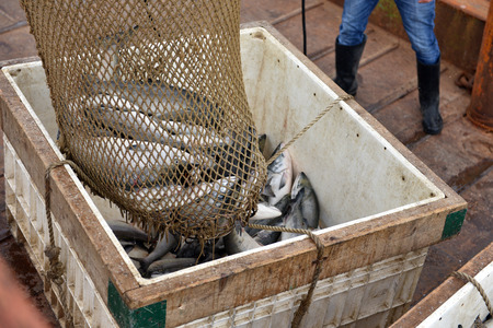 jorobado: salmon in the box prepared to processing in the fishing processing plant