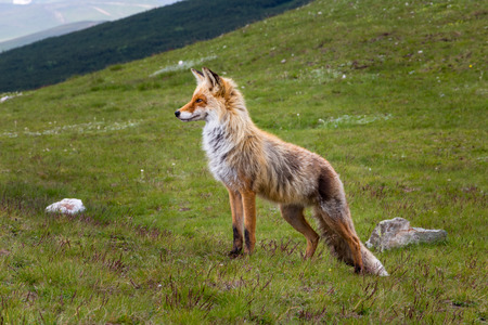 Wild fox animal (Vulpes vulpes) in its natural habitat up in the Bucegi mountains of Romania, looking ahead with a proud, powerful posture. Stockfoto
