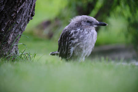 Young gull with gray feathers looks straight towards the camera, with the wind slowly blowing its feathers while it rests on green grass. Close up shot, side profile. Zdjęcie Seryjne