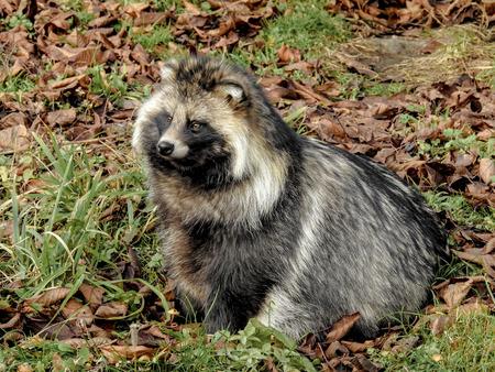 raccoon: Raccoon dog