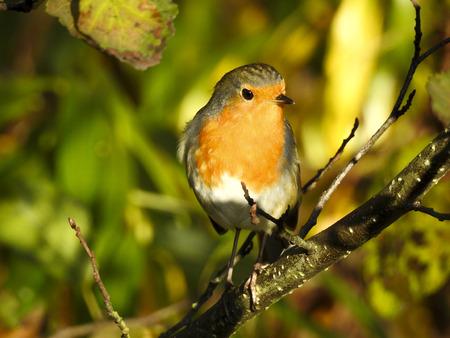 robin: Robin