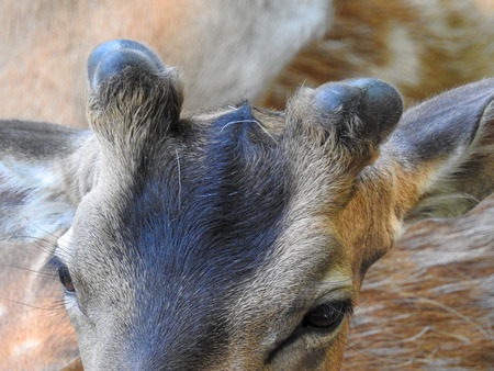 Fallow deer in the bast