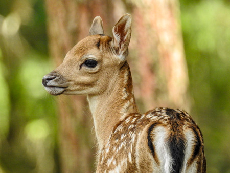 Fallow deer fawn in the forest Stockfoto