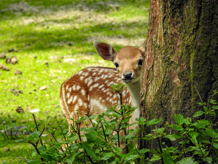 Fallow deer in the forest Stockfoto