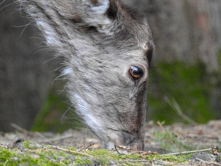 Fallow deer animal