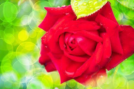 red rose flower on beautiful bokeh background Reklamní fotografie