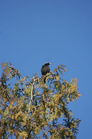 rebeldia: Starling en un árbol