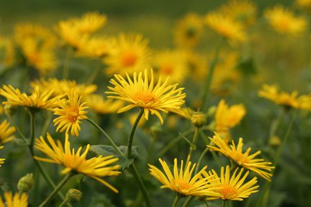 Yellow camomiles