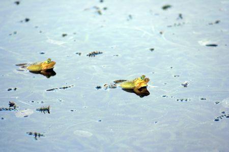 croak:  frogs