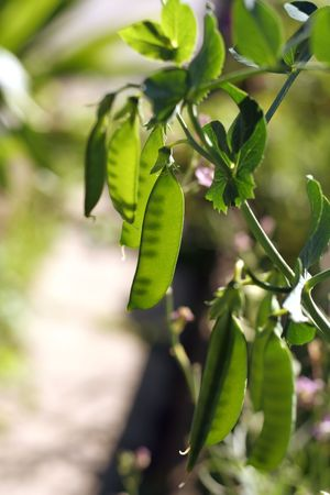 green peas Stock Photo - 3350154