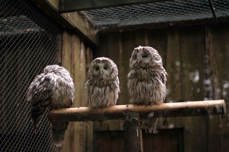Three dreamy owls resting on the branch photo